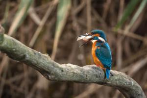 Twan van den Hombergh, Foto2 Ijsvogel met buit