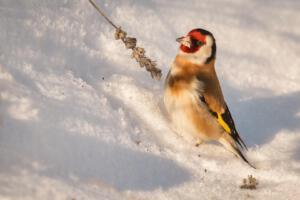 Twan van den Hombergh Foto 2 Putter in de sneeuw