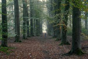 Bert Jacobs Foto2 Beuken bospad met wandelaar