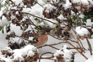Hen Peeters Foto 1 Boekvink in de sneeuw