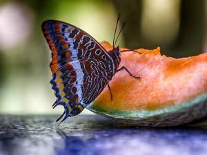 Vlinder op Meloen